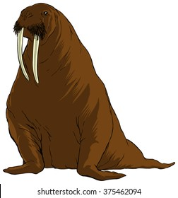 Detailed illustration of an adult walrus sitting upright.