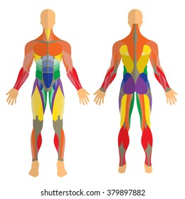 Detailed illustration of human muscles. Exercise and anatomy guide. Front and rear view.