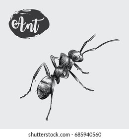 Detailed realistic sketch of ant isolated on white background. Hand drawn insect elements vector illustration.