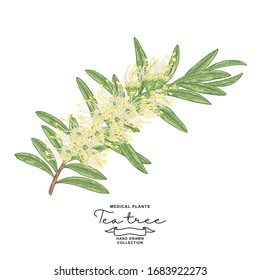 Detailed Tea tree branch with flowers isolated on white background. Melaleuca plant hand drawn. Vector botanical illustration.