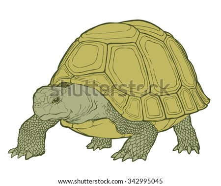 Detailed vector illustration of a generic tortoise (land turtle) in subtle greens.