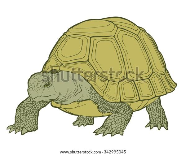 Detailed vector illustration of a generic tortoise (land turtle) in subtle greens.