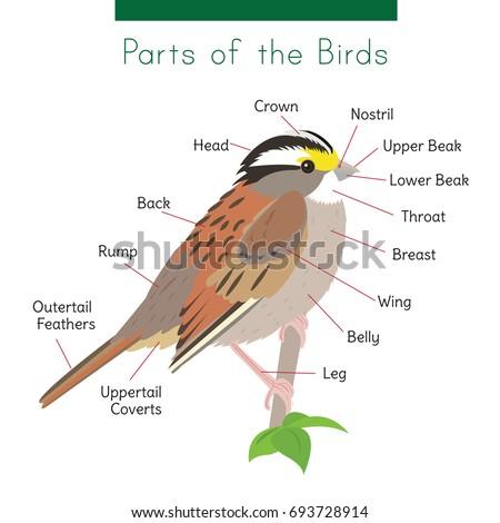 Diagram Birds Body Parts Captions Connected Stock Vector (Royalty ...