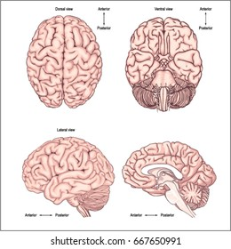 Diagram of the brain from the top side front and back/ Realistic image of the brain. Anatomy of the brain. Poster for the study of anatomy of the Central nervous system