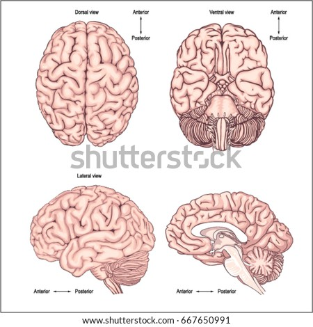 Diagram Brain Top Side Front Back Stock Vector Royalty Free