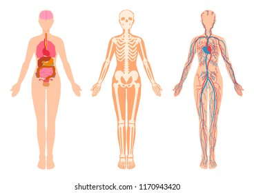 Diagram of the human body internal organs, skeleton, skeletal bones, circulatory cardiovascular system. Vector illustration set isolated from the white background. Flat simple design style.