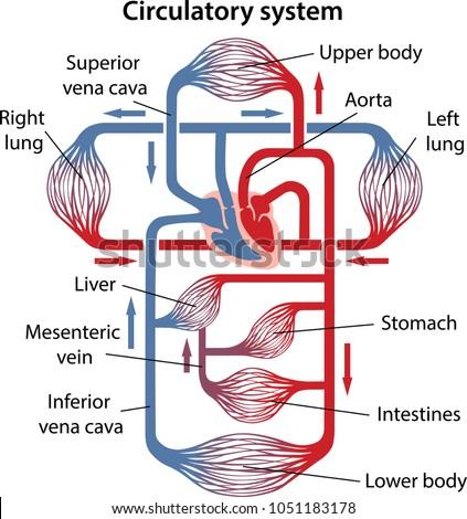 Diagram Human Circulatory System Main Parts Stock Vector Royalty