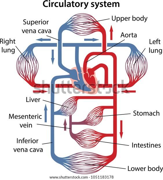 Diagram Human Circulatory System Main Parts Stock Vector