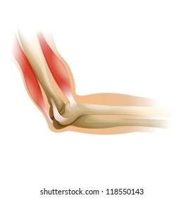 Diagram of a human elbow