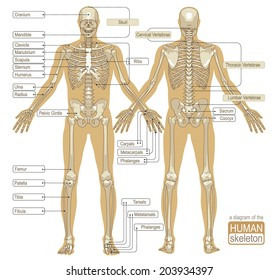 A diagram of the human skeleton. Main parts of the skeletal system. Vector illustration