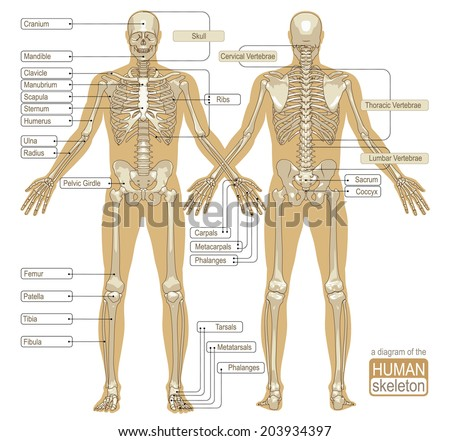Diagram Human Skeleton Main Parts Skeletal Stock Vector Royalty