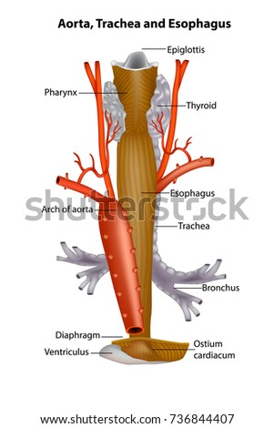 Diagram Illustrating Anatomic Relationships Between Aorta Stock ...