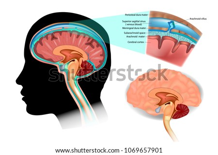 Diagram Illustrating Cerebrospinal Fluid Csf Brain Stock Vector