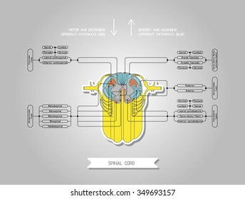 Diagram illustrating the structure of the spinal cord. Made in vector. Easy recolor.
