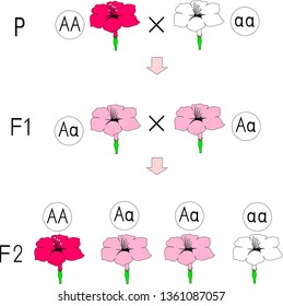 Diagram of incomplete dominance with flowers