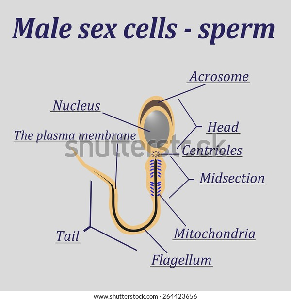 diagram of the male sex cells - sperm