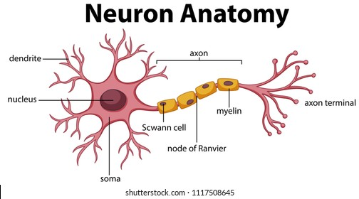 Diagram of Neuron Anatomy  illustration