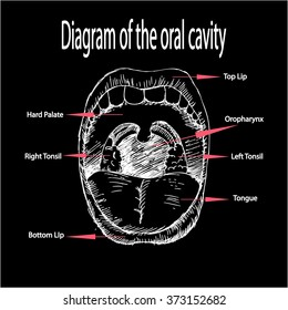 Diagram of the oral cavity