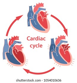 Diagram of the phases of cardiac cycle. Circulation of blood through the heart. Vector illustration