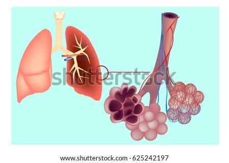 Diagram Pulmonary Alveolus Air Sacs Lung Stock Vector (Royalty Free ...