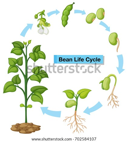 Bean Plant Life Cycle Diagram Wiring Diagram Portal
