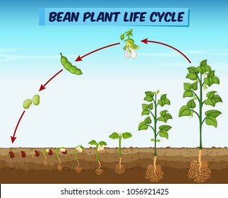 Diagram showing bean plant life cycle illustration