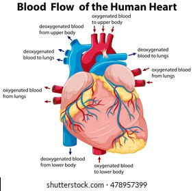 Diagram of the human heart images stock photos vectors shutterstock diagram showing blood flow in human heart illustration ccuart Choice Image