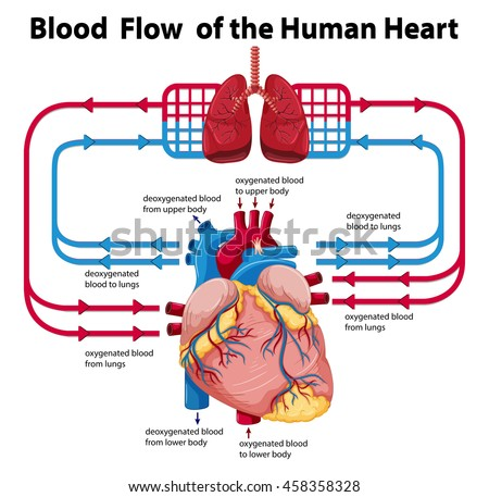 Diagram Showing Blood Flow Human Heart Stock Vector Royalty Free