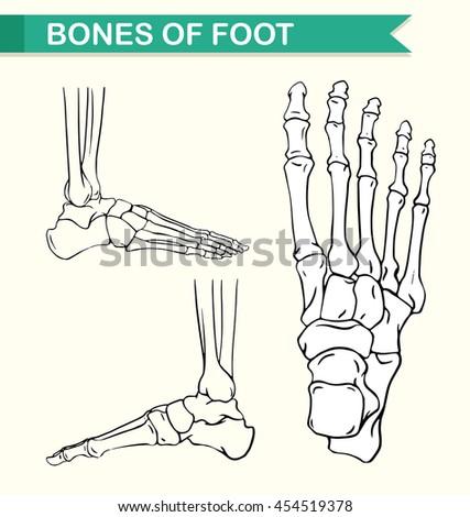 Diagram Showing Bones Foot Illustration Stock Vector (Royalty Free ...
