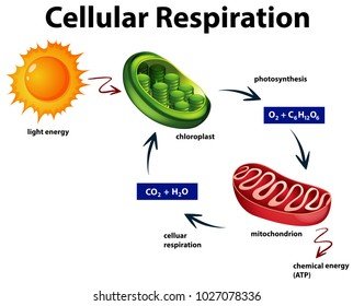 Diagram showing cellular respiration illustration