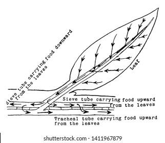 Tracheal Anatomy Images Stock Photos Vectors Shutterstock