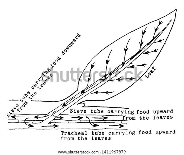 food tube diagram diagram showing descent food leaf stem stock vector  royalty free  diagram showing descent food leaf stem