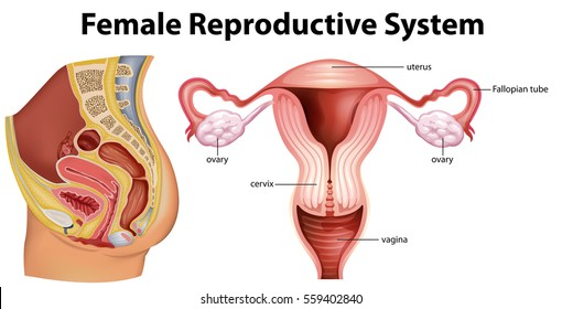 Female reproductive system images stock photos vectors shutterstock diagram showing female reproductive system illustration ccuart Image collections