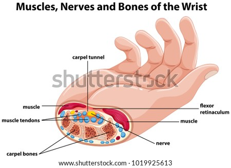 Diagram Showing Human Hand Muscles Nerves Stock Vector Royalty Free