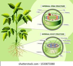 Diagram showing internal stem structure illustration