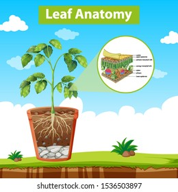 Diagram showing leaf anatomy illustration