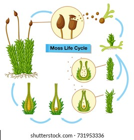 Diagram showing moss life cycle illustration