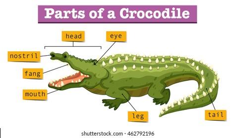 American Crocodile Skeleton Diagram - Wiring Diagram •