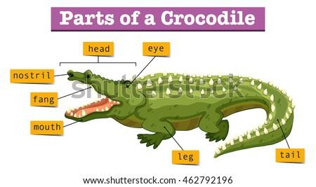 diagram showing parts crocodile illustration 450w 462792196 diagram of crocodile data wiring diagram