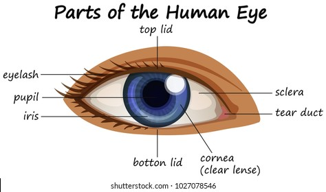 Human eye anatomy images stock photos vectors shutterstock diagram showing parts of human eye illustration ccuart Images