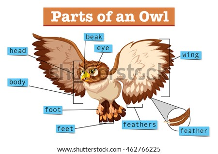 Diagram Showing Parts Owl Illustration Stock Vector Royalty Free