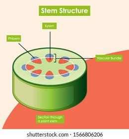 Diagram showing stem structure illustration