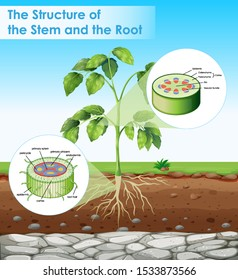 Diagram showing structure of stem and root illustration