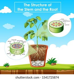 Diagram showing the structure of stem and root illustration