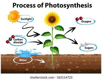 Photosynthesis images stock photos vectors shutterstock diagram showing sunflower and process of photosynthesis illustration ccuart Choice Image