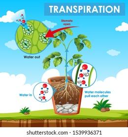 Diagram showing transpiration in plant illustration