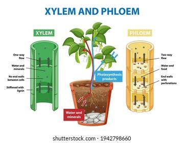 Diagram showing xylem and phloem of plant illustration