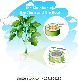 Diagramm showing structure of stem and root illustration