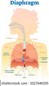 Diaphragm anatomical vector illustration diagram, educational medical scheme with human trachea, esophagus, rib cage and lungs.