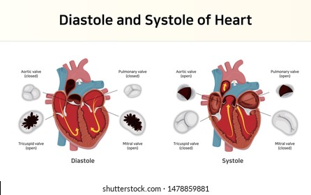 Diastole and Systole of Heart